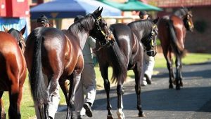 Yearlings on parade in the stabling area at Gosforth Park.