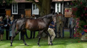 Golden Horn last week on the lawns at Dalham Hall.