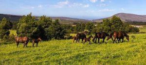 Mares and foals on rich pasture - Hemel 'n Aarde Stud.