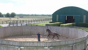 Yearling in the lunging ring.